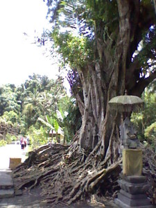 A large tree in front of the Tirta Empul Temple