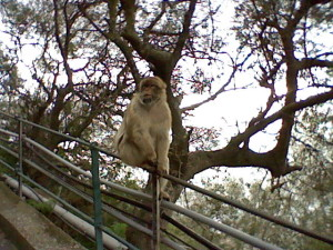 Gibraltar is the only place in Europe with wild apes